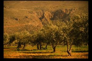 Foto Uliveti Sicilia