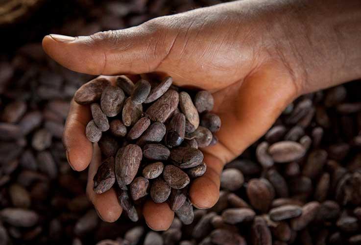 la materia prima, le fave di cacao