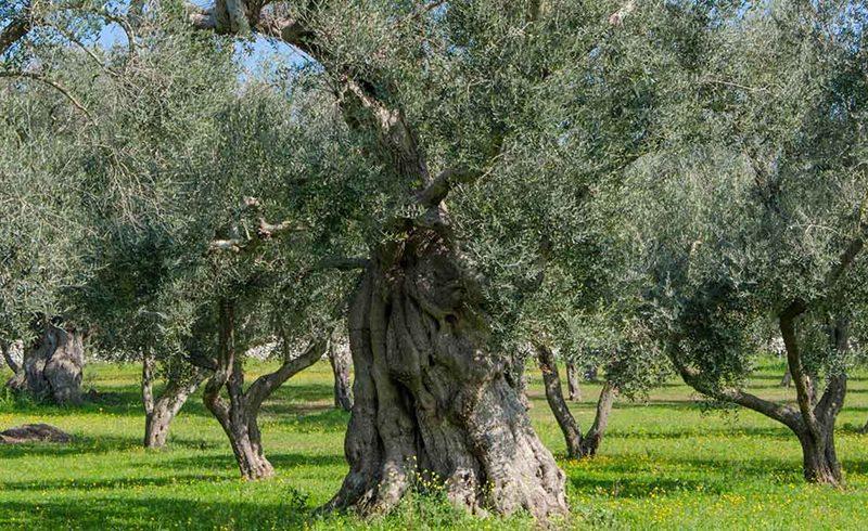 olio e corso potatura olivo