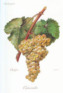 Il vitigno Catarratto, varietà autoctona siciliana