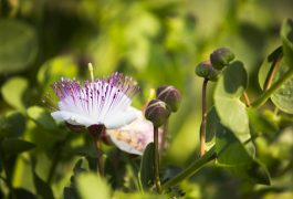 cappero fiore caper flower